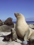 New Zealand (Hooker) Sea Lion, Cow Bonding with Young Pup, Auckland Group Photographie par Mark Jones