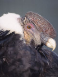 Andean Condor Adult Male in Prime Colours, Hacienda Zuleta, Ecuador Photographie par Mark Jones