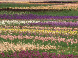 Pattern in Rows of Cultivated Iris, Oregon Photographic Print by Adam Jones