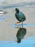 Giant Coot, Endemic to High Andes, Lauca National Park, Chile Photographie par Mark Jones