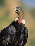Andean Condor, Adult Male, Colca Canyon, Southern Peru Reproduction photographique par Mark Jones
