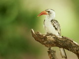 Red-Billed Hornbill, Samburu NR, Kenya Photographie par Adam Jones