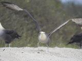 Waved Albatross, Take Off, Espanola Island, Galapagos Fotodruck von Mark Jones