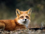Red Fox, Lying, Quebec, Canada Photographic Print by Philippe Henry