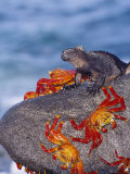 Marine Iguana &amp; Sally Lightfoot Crabs, Mosquera Island, Galapagos Photographic Print by Mark Jones