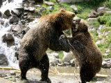 Grizzly Bears, Male and Female Playing, Quebec, Canada Photographic Print by Philippe Henry