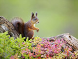 Red Squirrel, Portrait of Adult on Fallen Log in Autumnal Forest, Norway Fotografisk tryk af Mark Hamblin