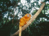 Golden Lion Tamarin, Poco Das Antas Reserve, Brazil Photographic Print by Mark Jones