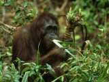 Orangutan, Eating, Borneo Photographic Print by Mike Hill