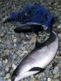 Common Porpoise, Adult and Juvenile Dead on Beach, North Wales, UK Photographic Print by Paul Kay