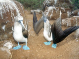Blue Footed Booby, Elaborate Courtship Dance, Galapagos Photographic Print by Mark Jones