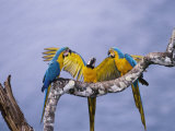 Blue and Yellow Macaw, Family, Peruvian Amazon Stampa fotografica di Mark Jones