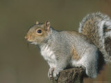 Grey Squirrel, Close-up Portrait in Winter Coat, UK Photographic Print by Mark Hamblin