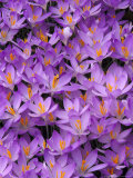 Crocus, Pattern in Flowers, KY Photographic Print by Adam Jones