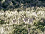 Vicuna, 3 Week Old Babies Group Together, Peruvian Andes Fotografisk tryk af Mark Jones