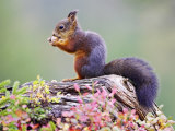 Red Squirrel, Adult on Fallen Log Eating a Hazelnut, Norway Lámina fotográfica por Mark Hamblin