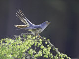 Cuckoo, Adult Male Perched on Larch in Spring, Scotland Photographic Print by Mark Hamblin