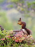 Red Squirrel, Adult Feeding on Hazelnut on Fallen Log in Forest in Autumn, Norway Lámina fotográfica por Mark Hamblin