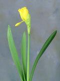Adam Jones - Daffodil Sequence - Fotografik Baskı