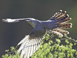 Cuckoo, Adult Male Taking-Off from Larch Branch, Scotland Photographie par Mark Hamblin