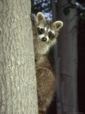 Raccoon, Province of Quebec, Canada Photographic Print by Philippe Henry