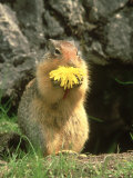 Columbian Ground Squirrel Eating Dandelion Jasper National Park, Canada Photographic Print by Adam Jones