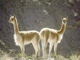 Vicuna, Wild High Andes Cameloid, Peru Fotografisk tryk af Mark Jones