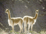 Vicuna, Wild High Andes Cameloid, Peru Photographic Print by Mark Jones