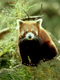 Red Panda, Ailurus Fulgens Photographic Print by Adam Jones