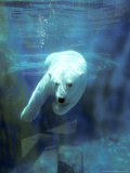 Polar Bear, Swimming Underwater, Quebec, Canada Reproduction photographique par Philippe Henry