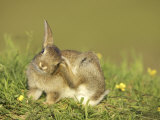 Rabbit, Youngster Scratching Ear with Foot, Scotland Photographic Print by Mark Hamblin