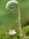 Fern Unfolding Over Spring Beauty, Great Smoky Mountains National Park TN Photographic Print by Adam Jones