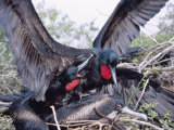 Great Frigate Bird, Frustrated Unpaired Males Fighting with a Mated Male, Galapagos Photographie par Mark Jones