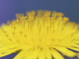 Common Dandelion, Taraxacum Officinale Flower, Great Smoky Mtns. National Park, TN Photographic Print by Adam Jones