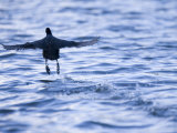 Common Coot, Running Away on Water, St. Albans, UK Photographie par Elliot Neep
