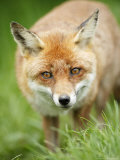 Red Fox, Portrait of Red Fox in Long Green Grass, Sussex, UK Photographic Print by Elliot Neep