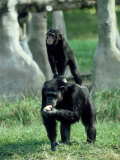 Chimpanzee, Baby Stands on Mothers Back, Zoo Animal Lámina fotográfica por Stan Osolinski