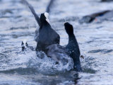 Common Coot, Pair of Coots Fighting in Water, St. Albans, UK Photographie par Elliot Neep