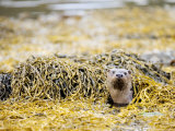 European Otter, Female Appearing Amongst Seaweed, Scotland Photographic Print by Elliot Neep