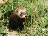 European Polecat in Low Vegetation, Sussex, UK Photographic Print by Elliot Neep