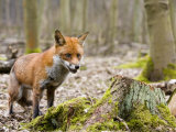Red Fox, Alert Fox Standing Next to Fallen Tree, Lancashire, UK Stampa fotografica di Elliot Neep