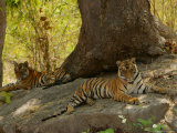 Bengal Tiger, 11 Month Old Cubs, Madhya Pradesh, India Photographic Print by Elliot Neep
