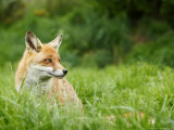 Red Fox Sitting in Long Green Grass, Sussex, UK Photographic Print by Elliot Neep