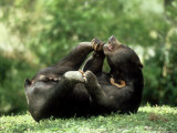 Malayan Sun Bear, Playing, Zoo Animal Photographic Print by Stan Osolinski