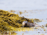 European Otter, Female Foraging Through Seaweed, Scotland Photographic Print by Elliot Neep