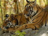 Bengal Tiger, 11 Month Old Cubs, Madhya Pradesh, India Photographie par Elliot Neep