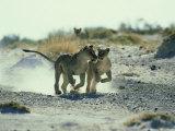 African Lion, Running, Namibia Fotografisk tryk af Richard Packwood