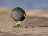 Common Moorhen, Walking on Footpath, St. Albans, UK Photographie par Elliot Neep