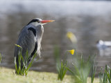 Grey Heron, Standing on Lake Bank in Daffodils, London, UK Photographie par Elliot Neep