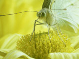 Cabbage White Butterfly, Pieris Brassicae Photographic Print by  London Scientific Films